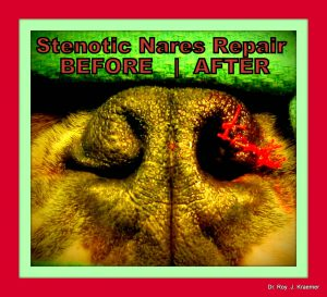 Stenotic Nares in a French Bulldogs Before & After surgical correction by Dr. Kraemer