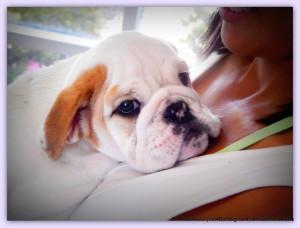 The English bulldog and The English Bulldog Puppy Dr. Kraemer vet for bulldogs