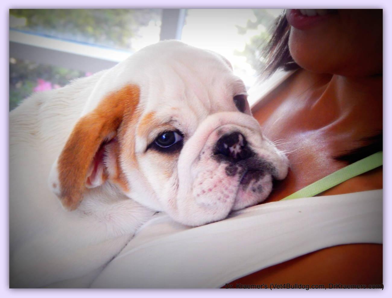 English Bulldog And The English Bulldog Puppy Are Most Popular