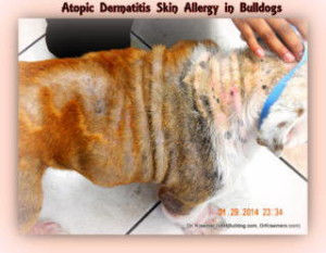 Allergic Atopic Itch Dermatitis in Bulldogs and French Bulldogs puppies