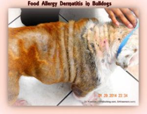 Food Allergy Dermatitis in Bulldogs