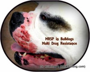 "MRSA and MRSP Infection in Bulldogs and French Bulldogs puppies also known as ""multi drug resistance"" infection"