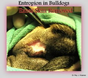 Entropion surgery on a bulldog by Dr. Kraemer (repairing top eyelid)