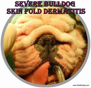 Skin Fold Dermatitis in Bulldogs: A French Bulldog with a Severe Nasal and Facial Skin Fold Moist Dermatitis at Dr. Kraemer's Vet4HealthyPet Advanced Medical Care