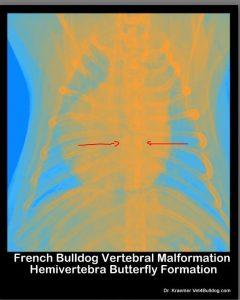 Spinal Vertebral Abnormalities in Bulldogs Butterfly skyview