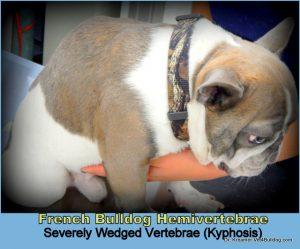 V4B Spinal Vertebral Abnormalities in Bulldogs Butterfly wedged kyphosis