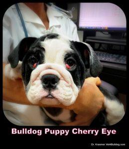 Cherry Eye in Bulldogs and French Bulldogs BILATERAL