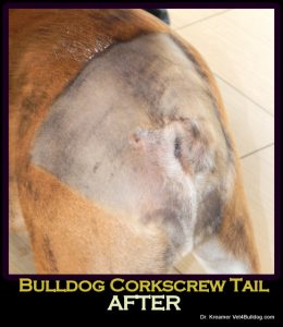 Bulldogs and French Bulldogs Tail Pocket Skin Fold Dermatitis after post op