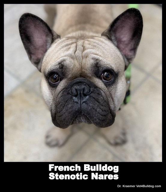 Stenotic Nares in bulldogs and French Bulldogs puppy